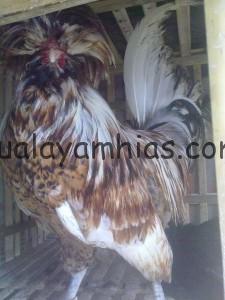 Ayam Jambul