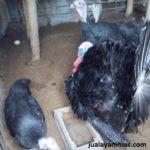 Ayam Kalkun Black Spanish Dewasa 1 Jual Ayam Hias HP : 08564 77 23 888 | BERKUALITAS DAN TERPERCAYA Galeri Foto