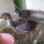 Ayam Kalkun Black Spanish Umur 1 Bulan 2 1 Jual Ayam Hias HP : 08564 77 23 888 | BERKUALITAS DAN TERPERCAYA Galeri Foto