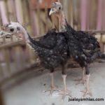 Ayam Kalkun Black Spanish Umur 3 Bulan 2 Jual Ayam Hias HP : 08564 77 23 888 | BERKUALITAS DAN TERPERCAYA Galeri Foto