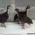 Ayam Kalkun Black Spanish Usia 2 Bulan Jual Ayam Hias HP : 08564 77 23 888 | BERKUALITAS DAN TERPERCAYA Galeri Foto