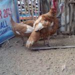 Ayam Kalkun Bourbon Red Dewasa Sepasang 1 Jual Ayam Hias HP : 08564 77 23 888 | BERKUALITAS DAN TERPERCAYA Galeri Foto