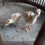 Ayam Kalkun Bourbon Red Umur 1 Bulan 1 Jual Ayam Hias HP : 08564 77 23 888 | BERKUALITAS DAN TERPERCAYA Galeri Foto