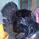 Ayam Kalkun Bronze Dewasa Jantan 4 3 Jual Ayam Hias HP : 08564 77 23 888 | BERKUALITAS DAN TERPERCAYA Galeri Foto