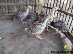 Ayam Kalkun Bronze Umur 1 Bulan 2 Jual Ayam kalkun dari Bibit Sampai Dewasa Siap di Ternakan Jual Ayam Hias HP : 08564 77 23 888 | BERKUALITAS DAN TERPERCAYA Jual Ayam kalkun dari Bibit Sampai Dewasa Siap di Ternakan Jual Ayam kalkun dari Bibit Sampai Dewasa Siap di Ternakan