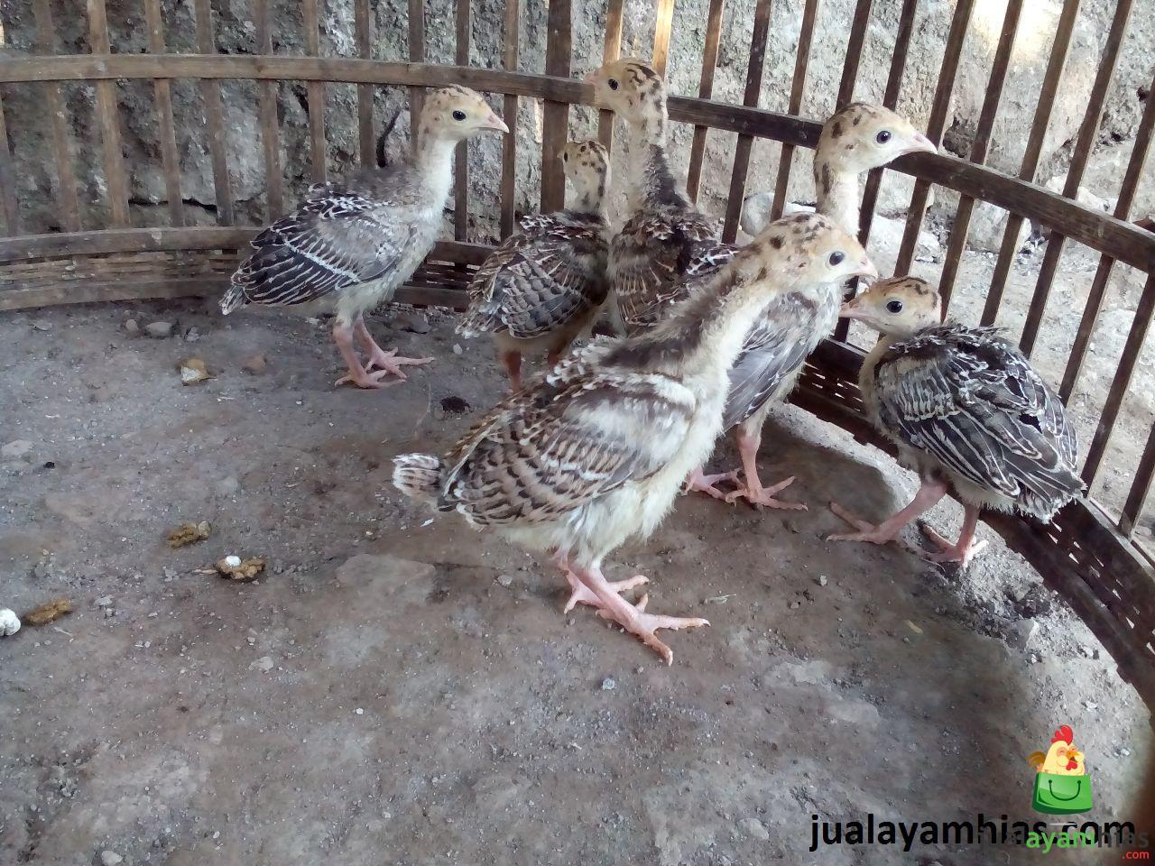 Ayam Kalkun Bronze Umur 1 Bulan 2 Cara Mudah Membuat Tempat Mengeram untuk Ayam Kalkun Jual Ayam Hias HP : 08564 77 23 888   BERKUALITAS DAN TERPERCAYA Cara Mudah Membuat Tempat Mengeram untuk Ayam Kalkun Cara Mudah Membuat Tempat Mengeram untuk Ayam Kalkun