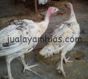 Ayam Kalkun Golden Palm