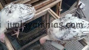 Ayam Kalkun Golden Palm Jantan Usia 3 Bulan