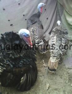Ayam Kalkun Indukan Jenis Bronze