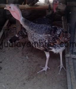 Ayam Kalkun Jenis Bronze Umur 5 bulan