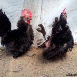 Ayam Kate Walik Dewasa 10 Jual Ayam Hias HP : 08564 77 23 888 | BERKUALITAS DAN TERPERCAYA Galeri Foto