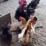 Ayam Kate Walik Dewasa 2 Jual Ayam Hias HP : 08564 77 23 888 | BERKUALITAS DAN TERPERCAYA Galeri Foto