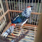 Ayam Lady Amhers Pheasent Dewasa Sepasang 5 Jual Ayam Hias HP : 08564 77 23 888 | BERKUALITAS DAN TERPERCAYA Galeri Foto