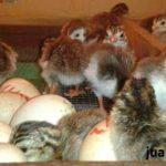 Ayam Mutiara Baru Menetas 1 Jual Ayam Hias HP : 08564 77 23 888 | BERKUALITAS DAN TERPERCAYA Galeri Foto