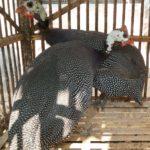 Ayam Mutiara Dewasa 5 1 Jual Ayam Hias HP : 08564 77 23 888 | BERKUALITAS DAN TERPERCAYA Galeri Foto