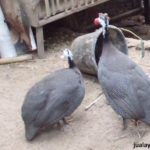 Ayam Mutiara Dewasa 9 1 Jual Ayam Hias HP : 08564 77 23 888 | BERKUALITAS DAN TERPERCAYA Galeri Foto