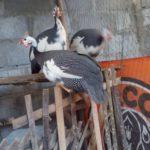 Ayam Mutiara Plangkok Dewasa 2 2 Jual Ayam Hias HP : 08564 77 23 888 | BERKUALITAS DAN TERPERCAYA Galeri Foto
