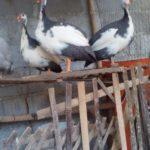 Ayam Mutiara Plangkok Dewasa 4 Jual Ayam Hias HP : 08564 77 23 888 | BERKUALITAS DAN TERPERCAYA Galeri Foto