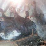 Ayam Mutiara Plangkok Umur 2 Bulan 2 Jual Ayam Hias HP : 08564 77 23 888 | BERKUALITAS DAN TERPERCAYA Galeri Foto