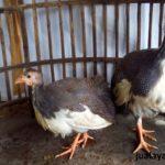 Ayam Mutiara Plangkok Umur 3 Bulan 3 Jual Ayam Hias HP : 08564 77 23 888 | BERKUALITAS DAN TERPERCAYA Galeri Foto