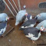 Ayam Mutiara Plangkok dan Mutiara Silver Dewasa 2 Jual Ayam Hias HP : 08564 77 23 888 | BERKUALITAS DAN TERPERCAYA Galeri Foto