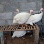 Ayam Mutiara Putih Dewasa 2 1 Jual Ayam Hias HP : 08564 77 23 888 | BERKUALITAS DAN TERPERCAYA Galeri Foto