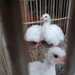 Ayam Mutiara Putih Umur 2 Bulan