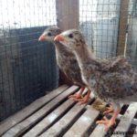 Ayam Mutiara Umur 1 Bulan 1 Jual Ayam Hias HP : 08564 77 23 888 | BERKUALITAS DAN TERPERCAYA Galeri Foto