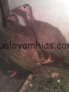 Ayam Mutiara Umur 2 Bulan