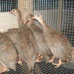 Ayam Mutiara Umur 2 Bulan 1 Jual Ayam Hias HP : 08564 77 23 888 | BERKUALITAS DAN TERPERCAYA Galeri Foto