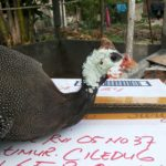 Ayam Mutiara Umur 5 Bulan 1 Jual Ayam Hias HP : 08564 77 23 888 | BERKUALITAS DAN TERPERCAYA Galeri Foto