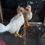 Ayam Onagadori Umur 2 Bulan Jual Ayam Hias HP : 08564 77 23 888 | BERKUALITAS DAN TERPERCAYA Galeri Foto