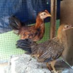 Ayam Onagadori Umur 3 Bulan Jual Ayam Hias HP : 08564 77 23 888 | BERKUALITAS DAN TERPERCAYA Galeri Foto