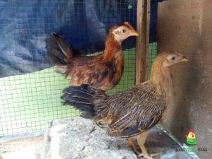 Ayam Onagadori Umur 3 Bulan Pengiriman Ayam Pesanan Pak Aking Di Balikpapan Jual Ayam Hias HP : 08564 77 23 888 | BERKUALITAS DAN TERPERCAYA Pengiriman Ayam Pesanan Pak Aking Di Balikpapan Pengiriman Ayam Pesanan Pak Aking Di Balikpapan