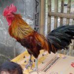 Ayam Pelung Indukan Jantan
