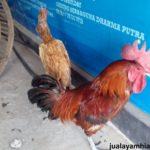 jual ayam pelung