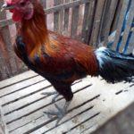 Mengenal Istilah untuk Ayam Pelung