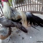 Ayam Phoenix Dewasa