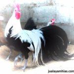 Ayam Phoenix Dewasa Jantan