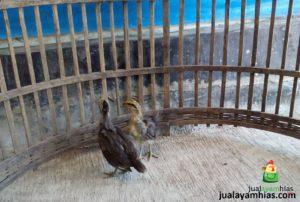 Ayam Phoenix Umur 1 Bulan Pengiriman Ayam Phoenix Pesanan Pak Hasan di Serang Banten Jual Ayam Hias HP : 08564 77 23 888   BERKUALITAS DAN TERPERCAYA Pengiriman Ayam Phoenix Pesanan Pak Hasan di Serang Banten Pengiriman Ayam Phoenix Pesanan Pak Hasan di Serang Banten