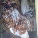 Ayam Polan Dewasa 15 Jual Ayam Hias HP : 08564 77 23 888 | BERKUALITAS DAN TERPERCAYA Galeri Foto