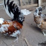 Ayam Polan Dewasa 24 Jual Ayam Hias HP : 08564 77 23 888 | BERKUALITAS DAN TERPERCAYA Galeri Foto