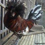 Ayam Polan Dewasa 7 Jual Ayam Hias HP : 08564 77 23 888 | BERKUALITAS DAN TERPERCAYA Galeri Foto