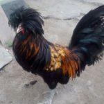 Ayam Polan Dewasa 8 Jual Ayam Hias HP : 08564 77 23 888 | BERKUALITAS DAN TERPERCAYA Galeri Foto