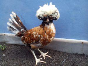 Ayam Polan Umur 4 Bulan 10 Pengiriman Berbagai Jenis Ayam Hias Pesanan Ibu Yuliza di Pekanbaru Jual Ayam Hias HP : 08564 77 23 888 | BERKUALITAS DAN TERPERCAYA Pengiriman Berbagai Jenis Ayam Hias Pesanan Ibu Yuliza di Pekanbaru Pengiriman Berbagai Jenis Ayam Hias Pesanan Ibu Yuliza di Pekanbaru