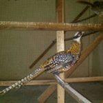 Ayam Reeves Pheasent Dewasa 2 Jual Ayam Hias HP : 08564 77 23 888 | BERKUALITAS DAN TERPERCAYA Galeri Foto