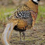 Ayam Reeves Pheasent Dewasa 3 1 Jual Ayam Hias HP : 08564 77 23 888 | BERKUALITAS DAN TERPERCAYA Galeri Foto