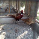 Kandang ayam ringneck pheasant harus selalu di bersihkan agar ayam terhindar dari berbagai serangan penyakit