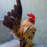 Ayam Serama Jantan