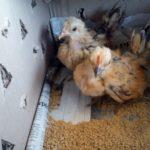 Ayam Serama Umur 2 Bulan 2 Jual Ayam Hias HP : 08564 77 23 888 | BERKUALITAS DAN TERPERCAYA Galeri Foto